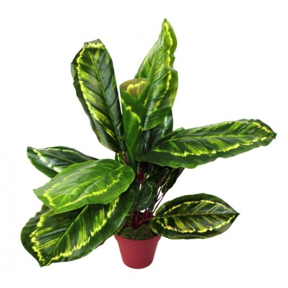 calathea-veitchiane-artificiel