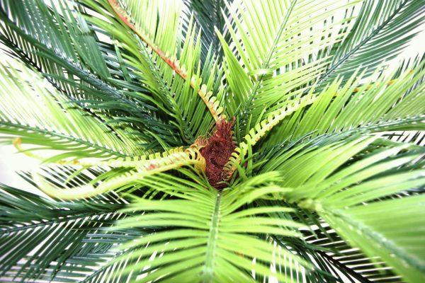 plante cycas
