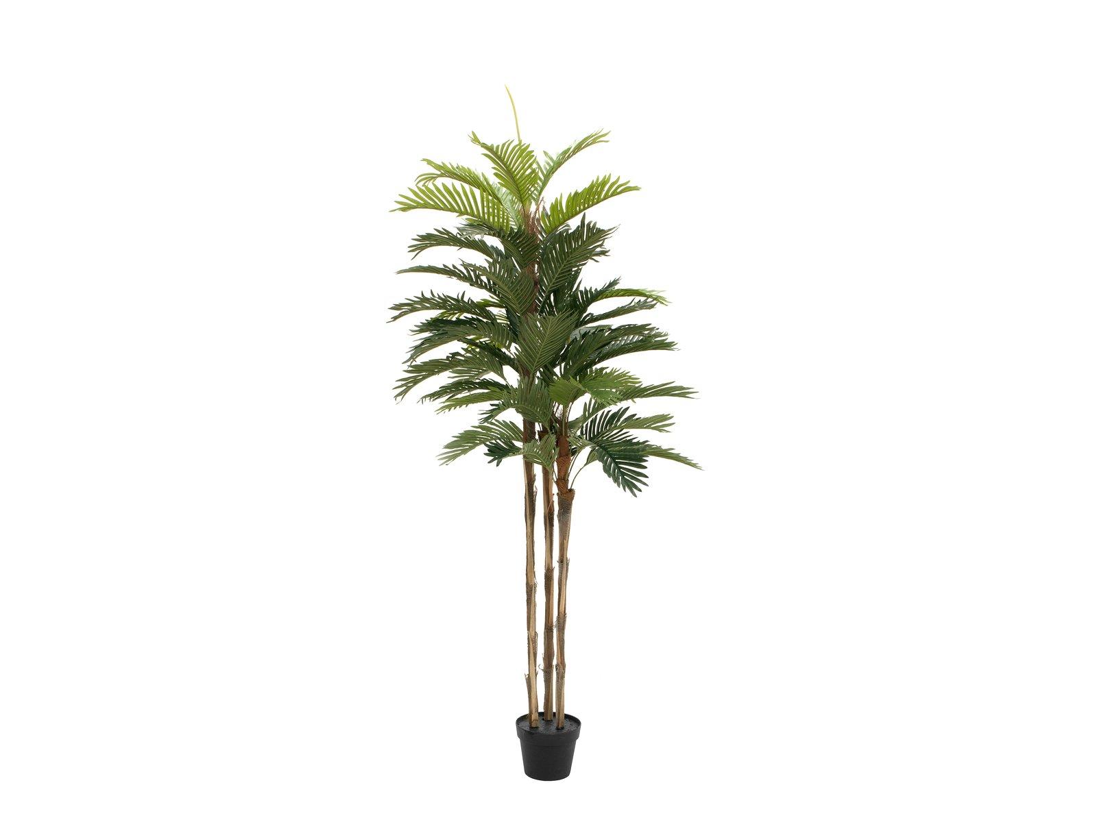 palmier-kentia