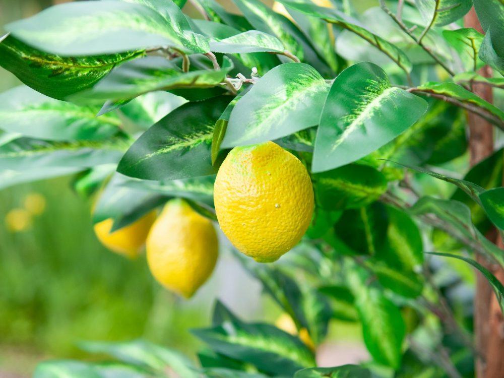 citronnier-artificiel