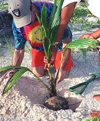 comment-planter-un-palmier