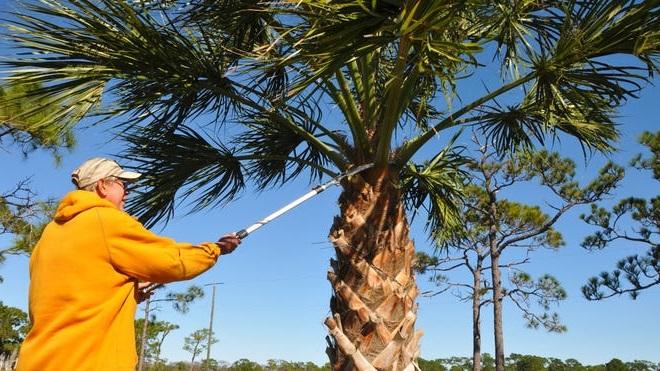 comment-tailler-un-palmier