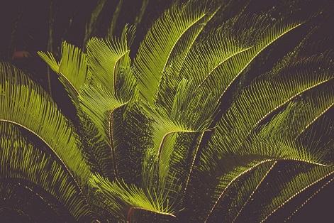 palmier-cycas-revoluta