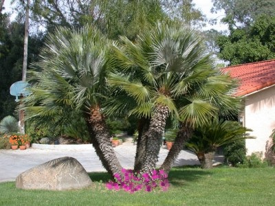 comment-faire-pousser-un-palmier-plus-vite