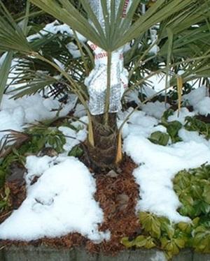 comment-proteger-un-palmier-en-hiver