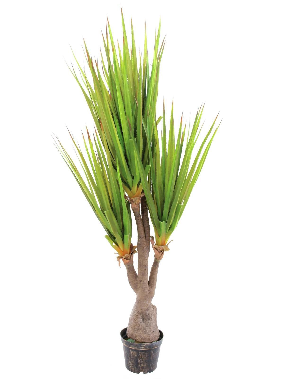 plantes-dent-de-sabre