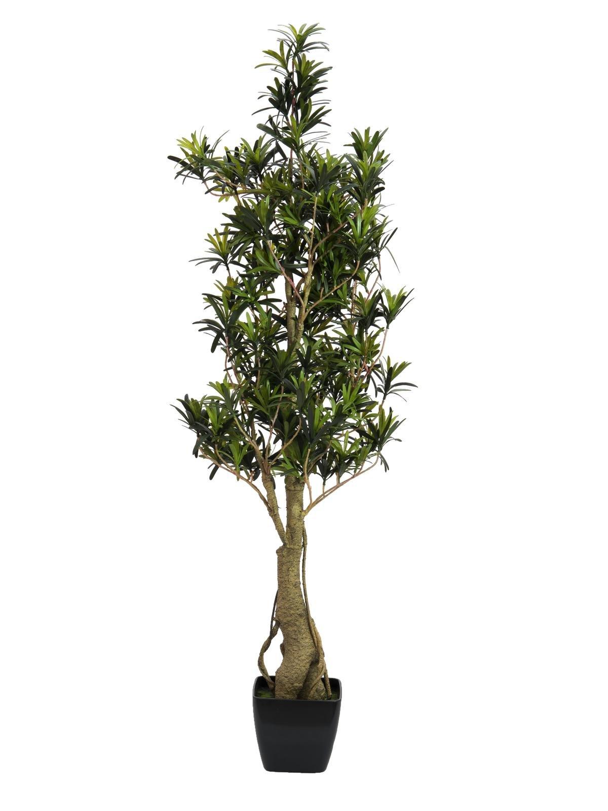 podocarpus-115cm
