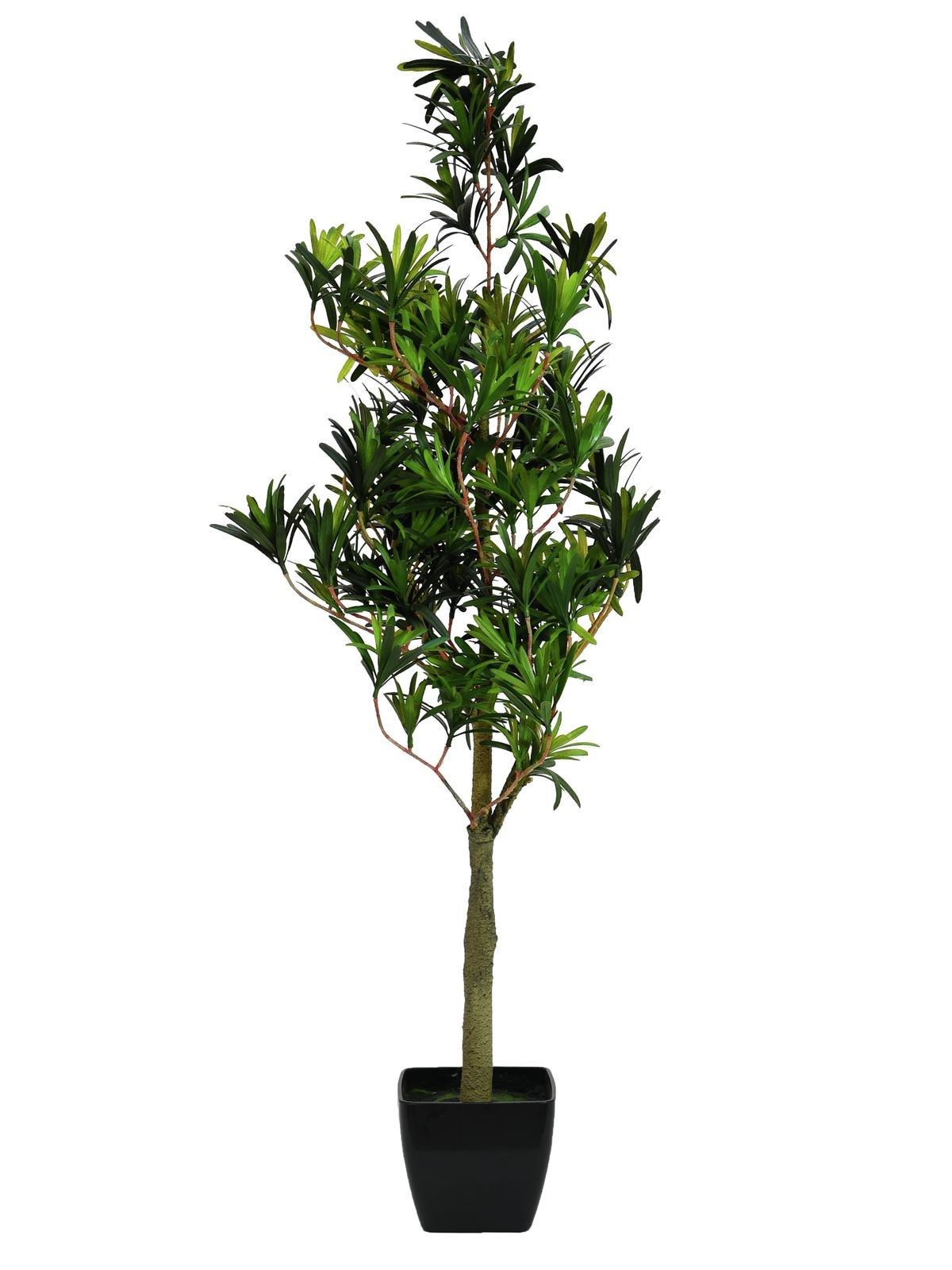 podocarpus-90-cm.jpg